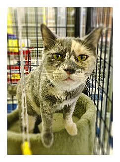 Calico Cat for adoption in Redding, California - Jesse