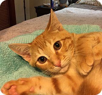 Domestic Shorthair Kitten for adoption in Simpsonville, South Carolina - Tyler
