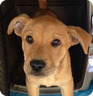 Retriever (Unknown Type)/Shepherd (Unknown Type) Mix Puppy for adoption in Corona, California - HASHIKO