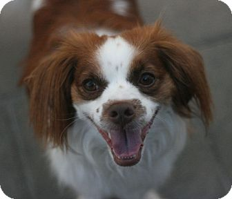 Cavalier King Charles Spaniel Mix Dog for adoption in Canoga Park, California - Winston