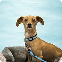 Adopt A Pet :: Jenny - Houston, TX