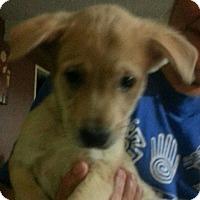 Labrador Retriever/Foxhound Mix Puppy for adoption in El Cajon, California - Vanilla