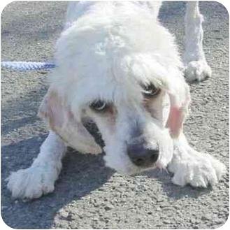 Cockapoo Mix Puppy for adoption in Berkeley, California - Angelo
