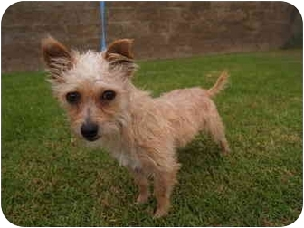 Terrier (Unknown Type, Small) Mix Dog for adoption in El Cajon, California - Rudy