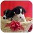 Photo 4 - Labrador Retriever/Border Collie Mix Puppy for adoption in Burnsville, North Carolina - Marlon & Chips