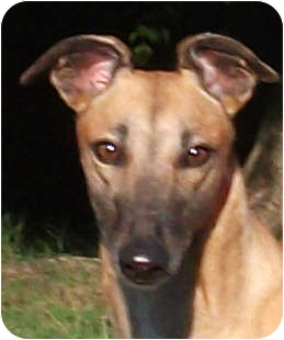 Greyhound Dog for adoption in Tampa, Florida - Queen