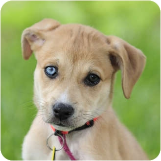 Catahoula Leopard Dog/Labrador Retriever Mix Puppy for adoption in Austin, Texas - Blondie