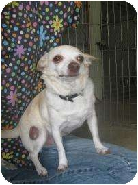 Chihuahua/Chihuahua Mix Dog for adoption in Norwalk, Ohio - Fawn