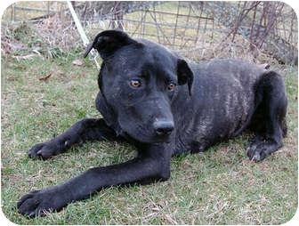 Mastiff/Labrador Retriever Mix Dog for adoption in Kansas City, Missouri - Betty Brindle