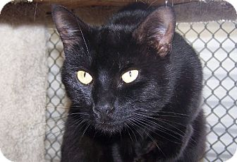 Domestic Shorthair Cat for adoption in Grants Pass, Oregon - Jet