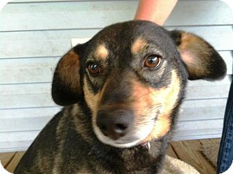 Dachshund/Shepherd (Unknown Type) Mix Dog for adoption in Ocala, Florida - Lady