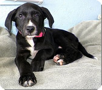 Labrador Retriever Mix Puppy for adoption in Sullivan, Missouri - Posy