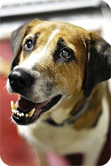 Treeing Walker Coonhound Mix Dog for adoption in Groveland, Florida - Dorothy