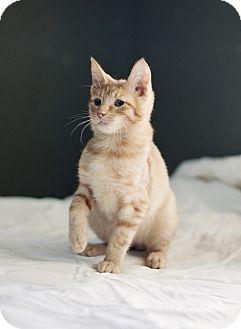 Domestic Shorthair Kitten for adoption in Carencro, Louisiana - Otto