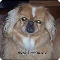 Adopt A Pet :: Libby - Columbia Falls, MT