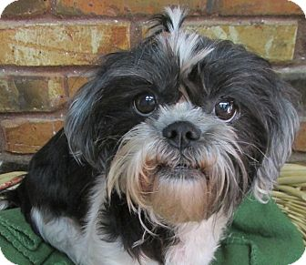 Shih Tzu Mix Dog for adoption in Benbrook, Texas - Trinity