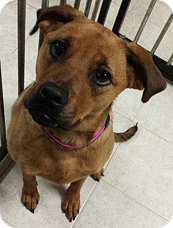 Boxer/Labrador Retriever Mix Dog for adoption in Struthers, Ohio - Penny