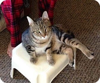 Domestic Shorthair Kitten for adoption in Woodstock, Ontario - Popeye