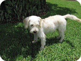 Wheaten Terrier Mix Dog for adoption in Homestead, Florida - Benji (CL-Kathy)