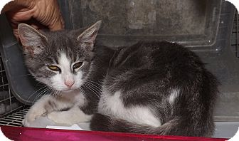 Domestic Shorthair Kitten for adoption in Henderson, North Carolina - West