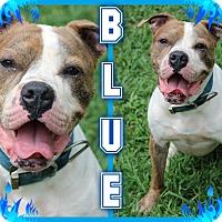 Adopt A Pet :: Blue - Tampa, FL
