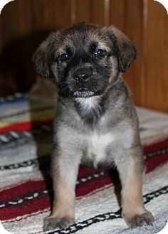 German Shepherd Dog/Labrador Retriever Mix Puppy for adoption in Cat Spring, Texas - Shadow Female Two