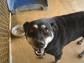 Labrador Retriever/Blue Heeler Mix Dog for adoption in Nashville, Georgia - Lucy