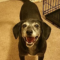 Beagle/Labrador Retriever Mix Dog for adoption in Wood Dale, Illinois - Jasmine- Foster Home Needed