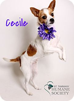 Jack Russell Terrier/Chihuahua Mix Dog for adoption in Covington, Louisiana - Cecile
