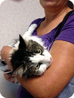 Domestic Longhair Cat for adoption in Las Vegas, Nevada - Mona
