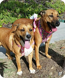 Labrador Retriever Mix Dog for adoption in Carlsbad, California - Rosie and Lucy