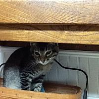 Adopt A Pet :: Bradley - Houston, TX
