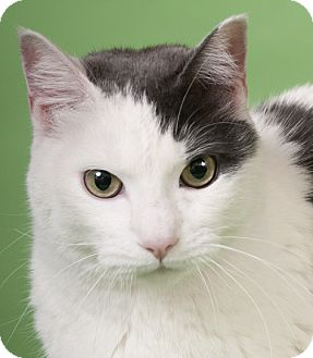 Domestic Shorthair Cat for adoption in Chicago, Illinois - Fern