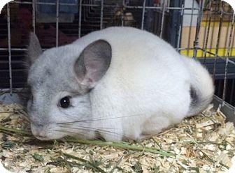 Chinchilla for adoption in Hammond, Indiana - 4 mo white mosaic female