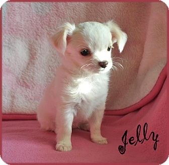 Pomeranian/Chihuahua Mix Puppy for adoption in Dallas, Texas - Jelly