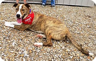 Boxer Mix Dog for adoption in Owensboro, Kentucky - Tanner - DRD program