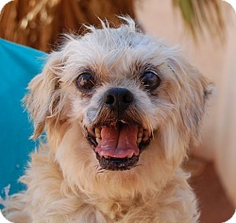 Lhasa Apso Mix Dog for adoption in Las Vegas, Nevada - Flipper