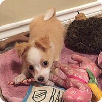 Adopt A Pet :: Phelps - Flower Mound, TX