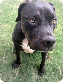 Rottweiler/Pit Bull Terrier Mix Dog for adoption in Gilbert, Arizona - Harold