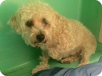 Maltese/Poodle (Toy or Tea Cup) Mix Dog for adoption in Oak Ridge, New Jersey - Fifi