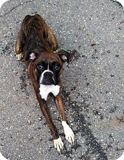 Boxer Puppy for adoption in Sauk Rapids, Minnesota - Norma