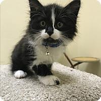 Adopt A Pet :: Figaro - Pasadena, CA