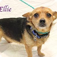 Adopt A Pet :: Ellie - Bradenton, FL