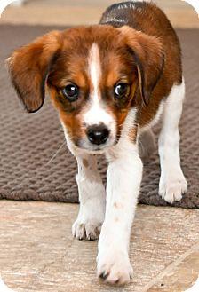 Spaniel (Unknown Type)/Retriever (Unknown Type) Mix Puppy for adoption in Mt. Prospect, Illinois - Wren