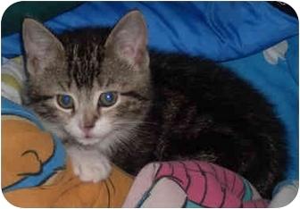 Domestic Shorthair Kitten for adoption in Flagstaff, Arizona - Marie