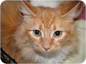 Domestic Longhair Cat for adoption in Tillamook, Oregon - Thomas