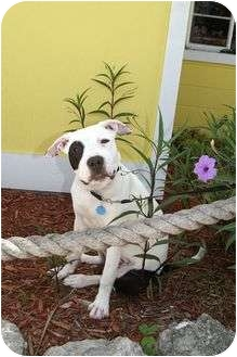 Pit Bull Terrier Mix Dog for adoption in Englewood, Florida - Petey