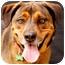 Photo 1 - Shepherd (Unknown Type)/Rhodesian Ridgeback Mix Dog for adoption in Denver, Colorado - Prince Kingston