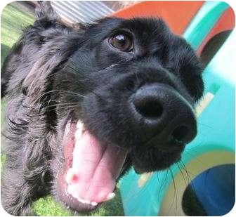 Labrador Retriever/Cocker Spaniel Mix Dog for adoption in Los Angeles, California - Curly
