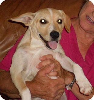 Labrador Retriever/Golden Retriever Mix Puppy for adoption in Hamburg, Pennsylvania - Gigi